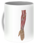 Anatomy Of Human Forearm Muscles, Deep Coffee Mug