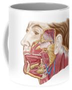 Anatomy Of Human Salivary Glands Coffee Mug