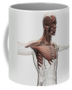 Anatomy Of Male Muscles In Upper Body Coffee Mug by Stocktrek Images