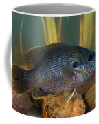 Bluegill Lepomis Macrochirus Coffee Mug