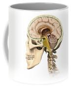 Cutaway View Of Human Skull Showing Coffee Mug