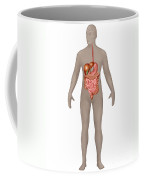 Digestive System In Male Anatomy Coffee Mug
