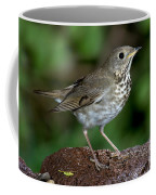 Gray-cheeked Thrush Catharus Minimus Coffee Mug