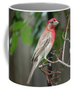 House Finch At Rest Coffee Mug