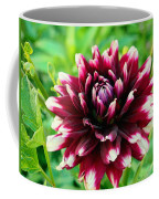 Maroon And White Dahlia Flower In The Garden Coffee Mug