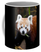 Red Panda  Ailurus Fulgens Eating Coffee Mug