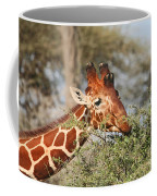 Reticulated Giraffe Browsing Acacia Kenya Coffee Mug