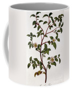 Tea Branch Of Camellia Sinensis Coffee Mug by Anonymous