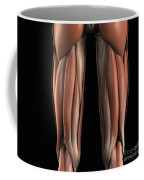 The Muscles Of The Upper Legs Rear Coffee Mug