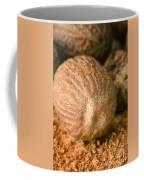Whole Nutmeg Nuts Coffee Mug