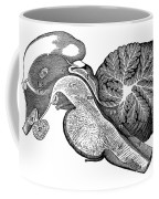 Third And Fourth Ventricles Of The Brain Coffee Mug
