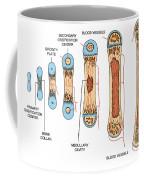 Bone Growth Coffee Mug by Science Source