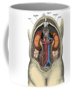 Dissection Of The Abdomen Coffee Mug by Science Source