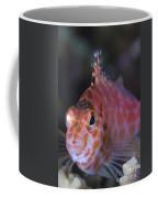 Pixy Hawkfish, Kimbe Bay, Papua New Coffee Mug