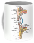 Illustration Of Eye Anatomy Coffee Mug by Science Source