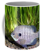 Bluegill Lepomis Macrochirus Coffee Mug