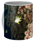 A Juvenile Golden Damsel Fish Shelters Coffee Mug