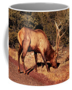 Animal - Elk -  An Elk Eating Coffee Mug