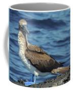 Blue-footed Booby  Puerto Egas James Bay Santiago James Island Galapagos Islands Coffee Mug