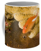 Closeup Of An Arc-eye Hawkfish Coffee Mug