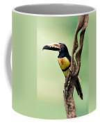 Collared Aracari Pteroglossus Coffee Mug
