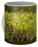 Darlingtonia Plants Grow Beside Coffee Mug