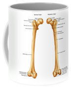 Femur, Anterior And Posterior View Coffee Mug