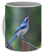 Florida Scrub Jay Eating Coffee Mug