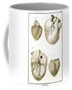 Heart And Muscle Fibers, 18th Century Coffee Mug