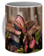 Heliborus Early Flower Buds 2 Coffee Mug