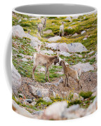 Practicing Baby Bighorn Sheep On Mount Evans Colorado Coffee Mug