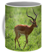 Male Impala Crossing Grassland With Tongue Out Coffee Mug