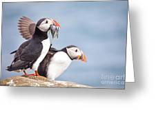 Atlantic Puffin  Fratercula Arctica Greeting Card