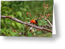 Berry Eating  Scarlet Tanager Greeting Card