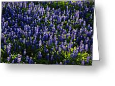 Bluebonnets In The Limelight Greeting Card