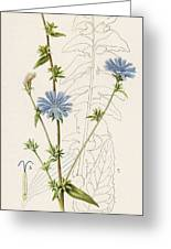 Chicory, Or Succory         Date 1915 Greeting Card