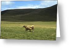 Cow And Calf. Aubrac . France. Greeting Card