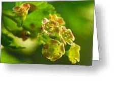 Currant In Bloom Greeting Card