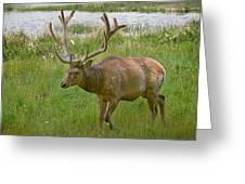 Elk At Pond Edge Greeting Card