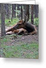Elk In  Yellowstone Park  Greeting Card