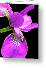 Japanese Iris Violet Black  Greeting Card