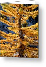 Larch Tree Closeup Greeting Card