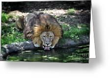Lion Drinking Water Greeting Card