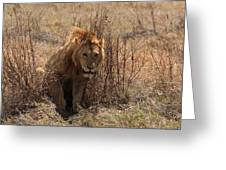 Lions Of The Ngorongoro Crater Greeting Card