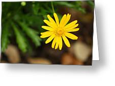 Marguerite Yellow Daisy Greeting Card