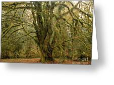 Moss-covered Big Leaf Maple Tree Greeting Card