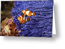 Ocellaris Clownfish Greeting Card