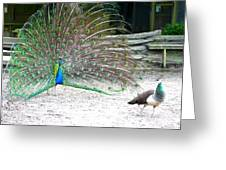 Peacock Making An Impression Greeting Card
