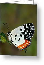 Red Pierrot Butterfly Greeting Card
