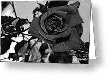 Rose In Black And White Greeting Card